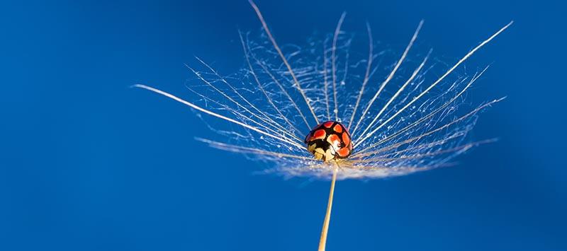 Red lady bug sit on a wet floating dandoline